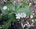 水馬齒莧屬 Claytonia sibirica -牛津大學植物園 Oxford Botanic Garden- (15121511980).jpg