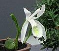 白花台灣一葉蘭 (台灣獨蒜蘭) Pleione formosana v alba -上海植物園 Shanghai Botanical Garden- (17669542320).jpg