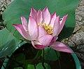 荷花-少瓣粉蓮型 Nelumbo nucifera Single-series -澳門龍環葡韻 Macau Lotus Show, China- (9193422932).jpg