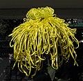 菊花-金獅子 Chrysanthemum morifolium 'Golden Lion' -香港圓玄學院 Hong Kong Yuen Yuen Institute- (12085615986).jpg
