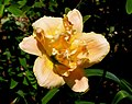 萱草 Hemerocallis Double Dream -香港動植物公園 Hong Kong Botanical Garden- (9247104760).jpg