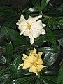 迷你白蟾 Gardenia jasminoides -香港公園 Hong Kong Park- (9237477731).jpg