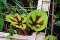 鐵十字秋海棠 Iron Cross Begonia ( Begonia masonia ) - panoramio.jpg