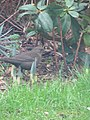 -2019-01-04 Female blackbird (Turdus merula), Trimingham (2).JPG