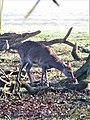-2021-02-28 Red deer (Cervus elaphus), Gunton Park, Norfolk (2).JPG