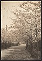 -Cherry Trees in Blossom Along Roadside- MET DP136233.jpg