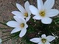 .மழை லில்லி (Zephyranthes rosea)12.jpg