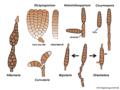 04 03 52 formas asexuales, Hyphomycetes, Pleosporales, Ascomycota (M. Piepenbring).png