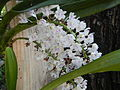 05441jfMidyear Philippine Orchid Show Quezon Memorial Circlefvf 12.JPG