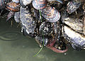 096 mussels swingle odfw (7639254168).jpg