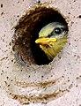 12 bis 17 Tage dauert die Brut bis die Blaumeisen das Nest verlassen. 01.jpg