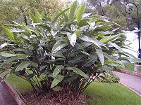200410 Alpinia zerumbet 1