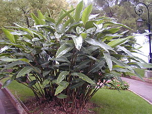 Alpinia zerumbet - Shell ginger as a streetplant