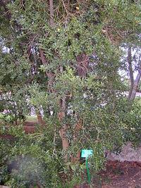 200410 Buxus balearica