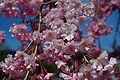 2007 Sakura of Yuzawa Chuo Park 007.jpg