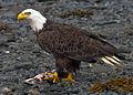 2010-bald-eagle-kodiak.jpg