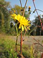 20121022Picris hieracioides2.jpg