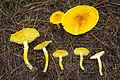 2013-10-20 Floccularia luteovirens (Alb. & Schwein.) Pouzar 411604.jpg