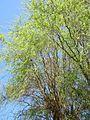 20130425Korkenzieherweide Hockenheim3.jpg