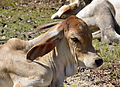 201312181301c (Hartmann Linge) Sukhothai cattle.jpg