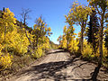 2014-10-04 14 02 44 View of Aspens during autumn leaf coloration along Charleston-Jarbidge Road (Elko County Route 748) in Copper Basin about 11.0 miles north of Charleston, Nevada.JPG