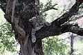 2014-11-23 109 Leopard (Panthera pardus) anagoria.JPG