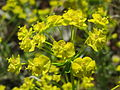 20140418Euphorbia cyparissias1.jpg