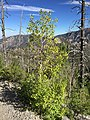 2015-07-13 17 11 19 Aspen along the North Loop Trail about 4.8 miles west of the trailhead in the Mount Charleston Wilderness, Nevada.jpg