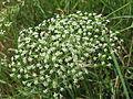 20150722Falcaria vulgaris4.jpg