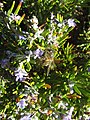 2017-12-06 A bee on the flowers of a rosemary shrub, Albufeira.JPG