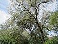 20170809Elaeagnus angustifolia1.jpg