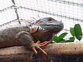 20180825 Vlinders aan de Vliet 35 - Iguana iguana.jpg