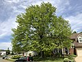 2019-04-23 13 09 17 A Pin Oak leafing out in mid-Spring along Glen Taylor Lane in the Chantilly Highlands section of Oak Hill, Fairfax County, Virginia.jpg