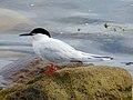 2020-07-18 Sterna dougallii, St Marys Island, Northumberland 05.jpg
