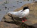 2020-07-18 Sterna dougallii, St Marys Island, Northumberland 13.jpg