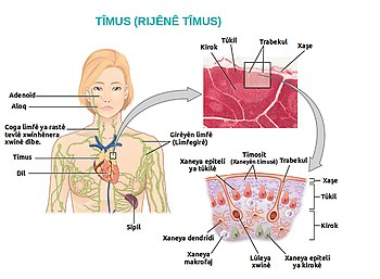 2206 The Location Structure and Histology of the Thymus ku.jpg