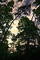 2 große gebogene Bäume bei Sonnenuntergang.jpg