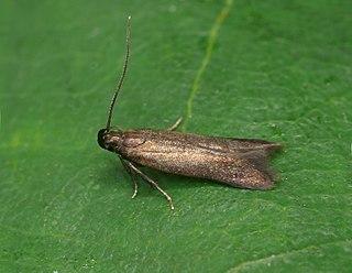 <i>Monochroa tenebrella</i> Species of moth