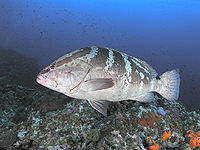 Nassau grouper swimming