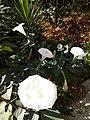 7956 - D.innoxia -Groupe de Fleurs.jpg