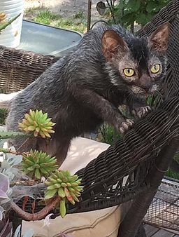 8-month-old male Lykoi