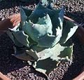 A020 Agave Colorata - Flickr - Juan Ignacio 1976.jpg