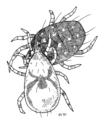 ACAR Phytoseiidae Typhlodromus pyri+european red mite.png