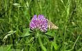 A Butterfly on a flower.jpg