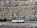 A Huddle of Sheep - geograph.org.uk - 711968.jpg