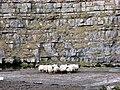 A Huddle of Sheep - geograph.org.uk - 711968.jpg