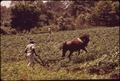 A ST. HELENA'S ISLAND FARMER CULTIVATES HIS CORN FIELD - NARA - 546957.tif