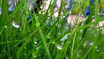 A close picture of wet grass in Rainy season.jpg