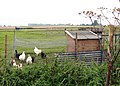 A flock of Silkies - geograph.org.uk - 984129.jpg