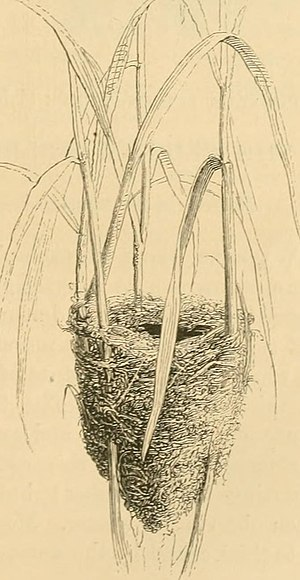 Eurasian reed warbler - Image: A history of British birds (1871) (14746972441)